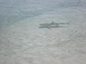 tiburon maldivas