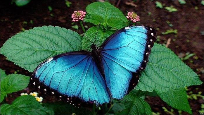 mariposa azul costar ica