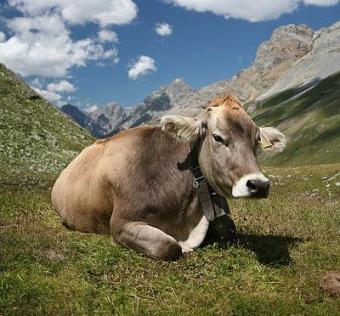 vaca suiza